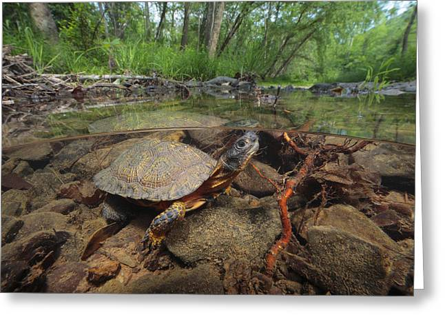 Wood Turtle Greeting Cards - Wood Turtle, Clemys Insculpta, Forages Greeting Card by George Grall