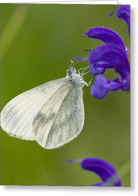 Biological Greeting Cards - Wood White Greeting Card by Bob Gibbons
