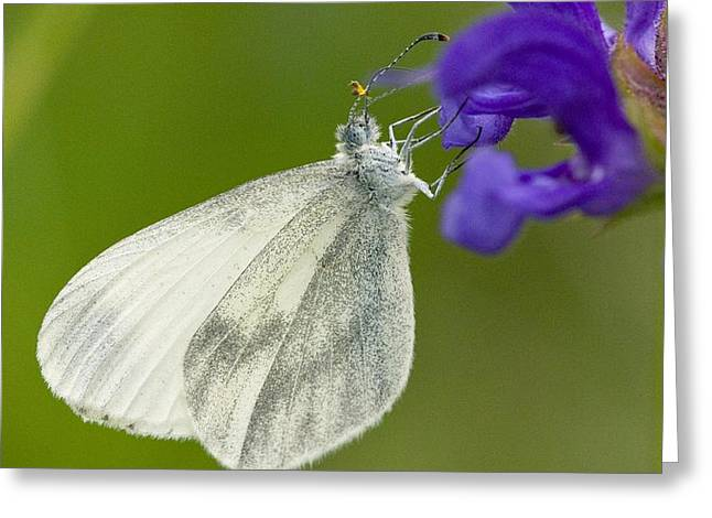Wood White Greeting Card by Bob Gibbons