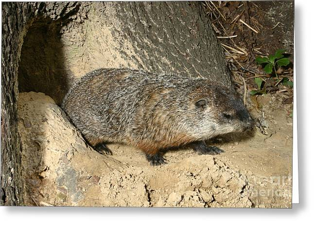 Groundhog Photographs Greeting Cards - Woodchuck Greeting Card by Ted Kinsman