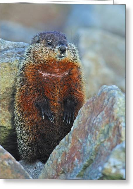 Woodchuck Greeting Card by Tony Beck