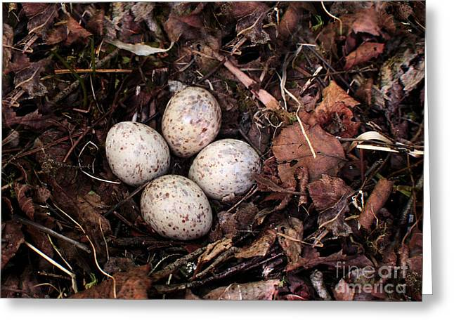 Woodcock Greeting Cards - Woodcock Nest and Eggs Greeting Card by Angie Rea