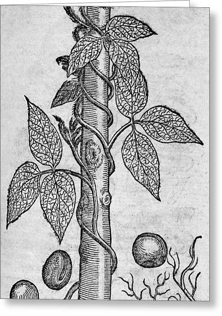 1574 Greeting Cards - Woodcut Of A Red Kidney Bean Plant Greeting Card by Middle Temple Library