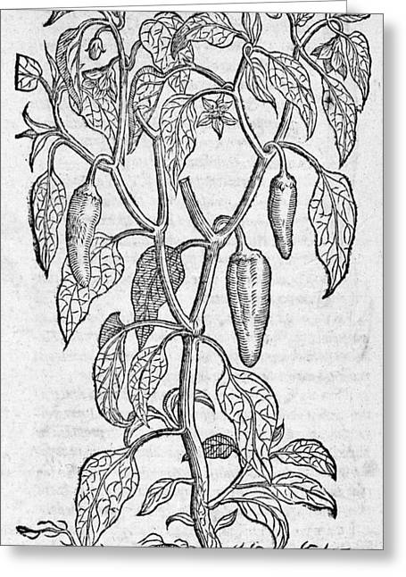 1574 Greeting Cards - Woodcut Of A Sweet Pepper Plant Greeting Card by Middle Temple Library