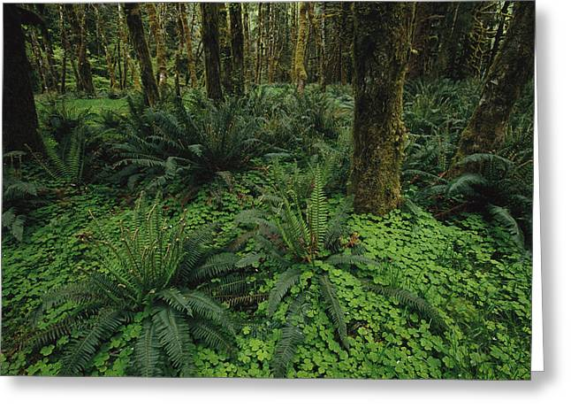 Park Scene Greeting Cards - Woodland Rain Forest View With Mosses Greeting Card by Melissa Farlow