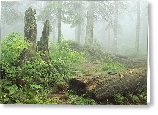 Plant Growth And Decay Greeting Cards - Woodland View In Fog With Ferns Greeting Card by Norbert Rosing