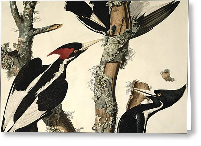 Ivory Greeting Cards - Woodpecker Greeting Card by John James Audubon