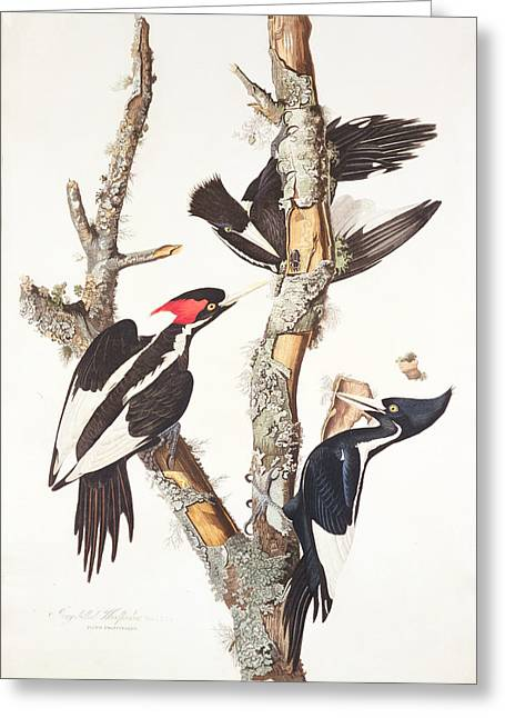 James Paintings Greeting Cards - Woodpeckers Greeting Card by John James Audubon