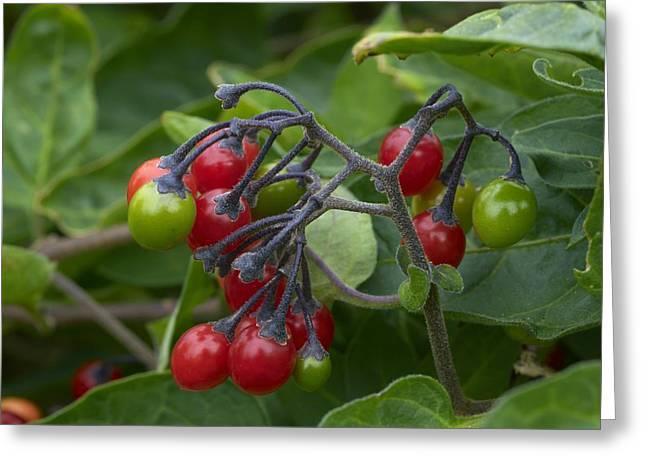 Bittersweet Greeting Cards - Woody Nightshade (solanum Dulcamara) Greeting Card by Adrian Bicker