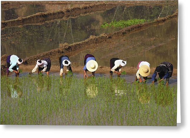 Workers Planting Rice Greeting Card by Bjorn Svensson