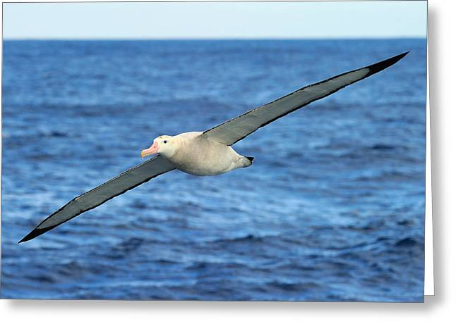 Long Distance Greeting Cards - Worlds Longest Wingspan Greeting Card by Tony Beck