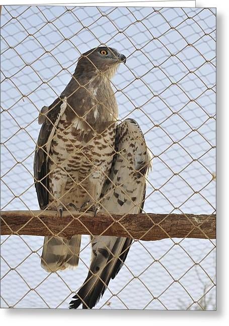 Rehabilitation Greeting Cards - Wounded Goshawk, Accipiter Gentilis Greeting Card by Photostock-israel