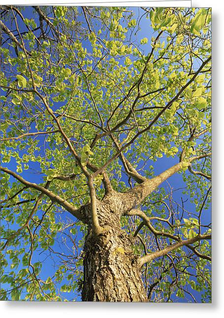 Glabra Greeting Cards - Wych Elm Tree (ulmus Glabra) Greeting Card by Bjorn Svensson