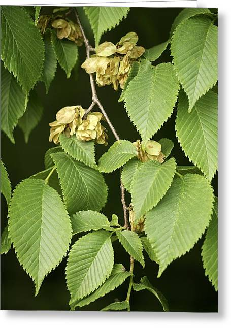 Double Cluster Greeting Cards - Wych Elm (ulmus Glabra) Greeting Card by Bjorn Svensson