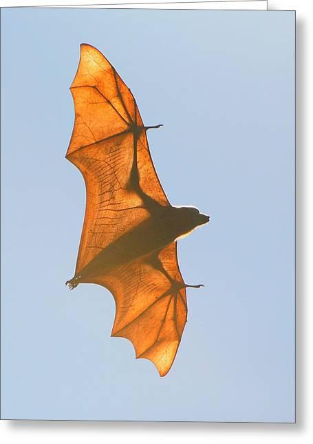 Bat Wings Greeting Cards - X-ray Fruit Bat Greeting Card by Bruce J Robinson