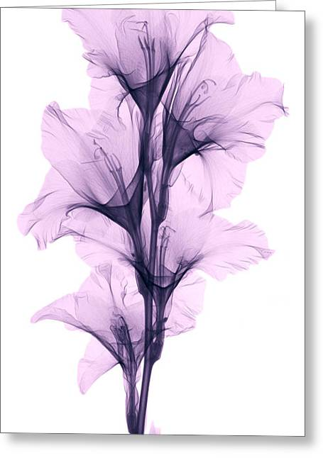 Xray Greeting Cards - X-ray Of A Gladiola Flower Greeting Card by Ted Kinsman