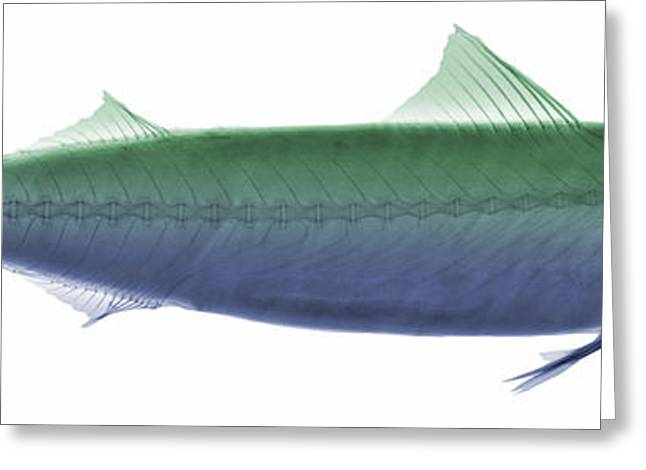 Ray Fish Greeting Cards - X-ray Of An Atlantic Mackerel Greeting Card by Ted Kinsman