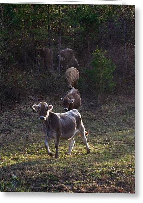Cattle Run Greeting Cards - Yearling on the Run Greeting Card by Douglas Barnett