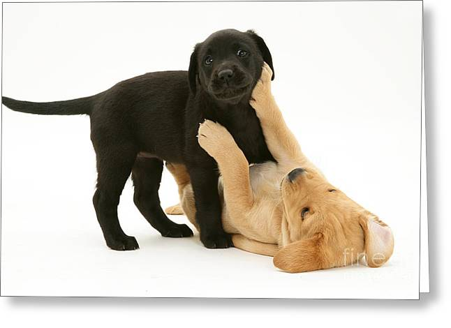 Yellow Dog Greeting Cards - Yellow And Black Retriever Puppies Greeting Card by Jane Burton
