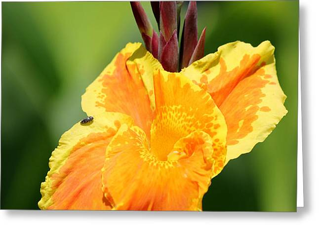 Yellow and Orange Canna Greeting Card by Sarah Broadmeadow-Thomas