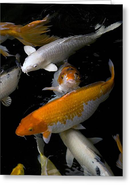 Four Animals Greeting Cards - Yellow And Orange Koi Swimming Greeting Card by David Evans