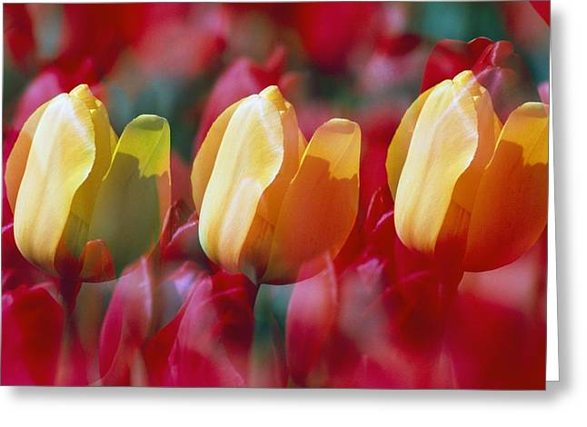 Woodburn Greeting Cards - Yellow And Red Tulip Blooms Greeting Card by Natural Selection Craig Tuttle