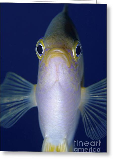 Damselfish Greeting Cards - Yellow And White Damselfish, Bali Greeting Card by Mathieu Meur