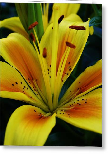 Organe Greeting Cards - Yellow Asiatic Lily Greeting Card by Bruce Bley