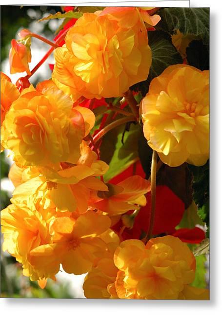 Medium Flowers Greeting Cards - Yellow Begonia Flowers.  Victoria Greeting Card by Darlyne A. Murawski