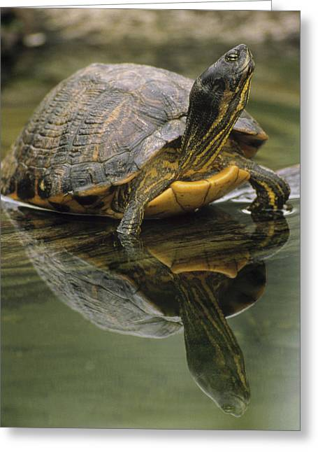 Dime Store Greeting Cards - Yellow-bellied Slider Trachemys Scripta Greeting Card by Gerry Ellis