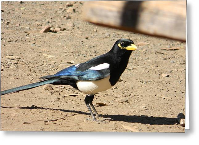 Yellow Billed Magpie Greeting Cards - Yellow Billed Magpie Greeting Card by Carol Beza