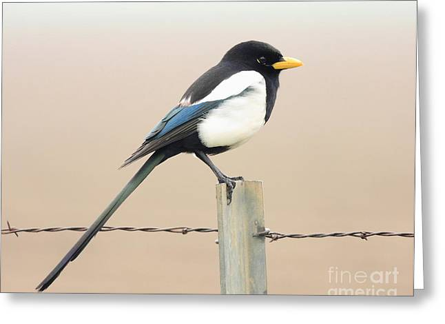 Yellow-billed Magpie Greeting Card by Wingsdomain Art and Photography