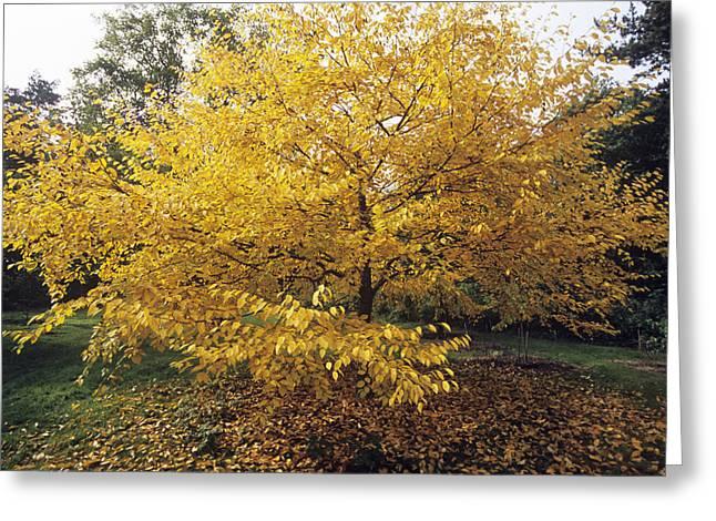 Carotene Greeting Cards - Yellow Birch (betula Alleghaniensis) Greeting Card by Adrian Thomas