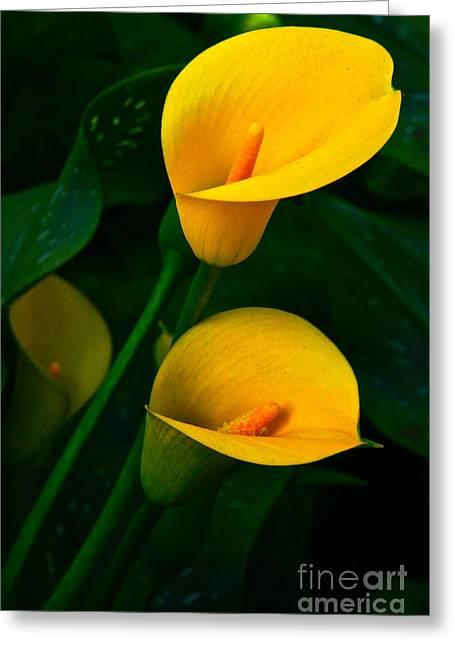 Byron Varvarigos Greeting Cards - Yellow Calla Lilies Greeting Card by Byron Varvarigos