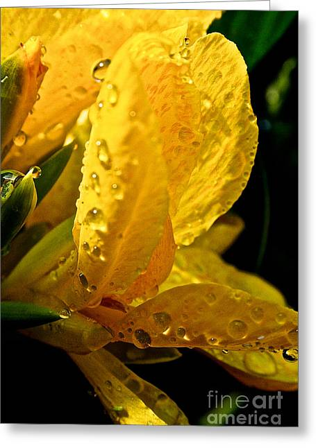 Yellow Canna Lily Greeting Card by Susan Herber