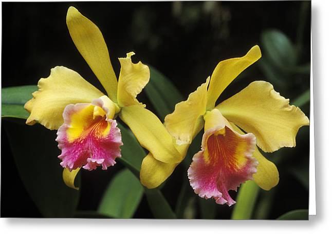 Cattleya Greeting Cards - Yellow Cattleya Orchids Greeting Card by Greg Vaughn