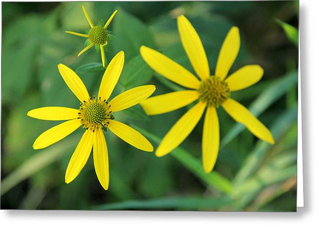 Yellow Coneflower Greeting Card by James Hammen