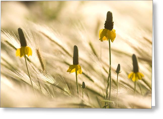 Yellow Coneflower Greeting Cards - Yellow Coneflowers Grow In The Little Greeting Card by Phil Schermeister