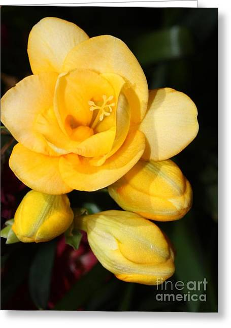 Yellow Crocus Greeting Cards - Yellow Crocus Closeup Greeting Card by Carol Groenen