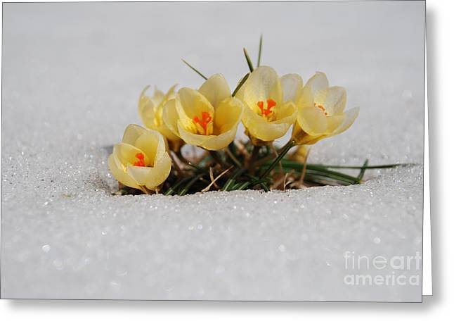 Yellow Crocus Greeting Cards - Yellow Crocus in the snow Greeting Card by Paul Ward