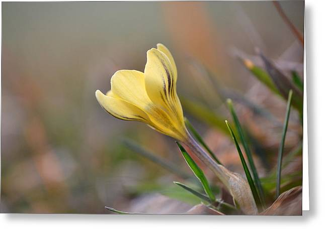 Yellow Crocus Greeting Card by JD Grimes