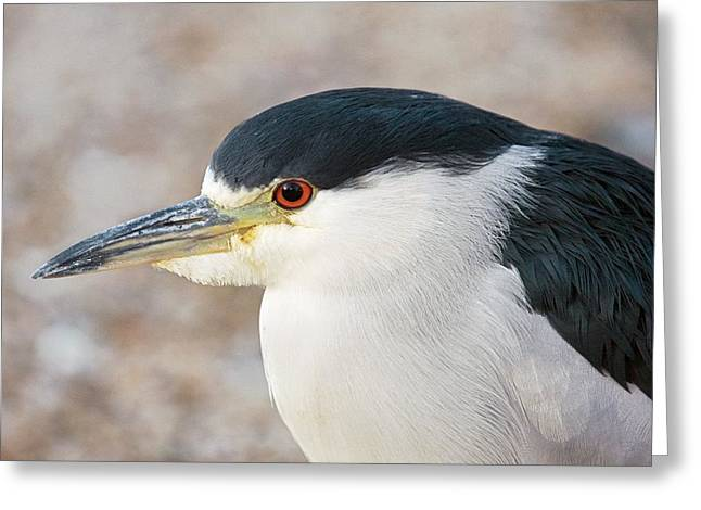 Yellow-crowned Night Heron Greeting Cards - Yellow-crowned Night Heron Greeting Card by Bob Gibbons