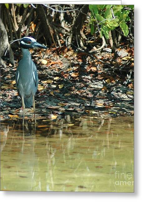 Struckle Greeting Cards - Yellow Crowned Night Heron Greeting Card by Kathleen Struckle
