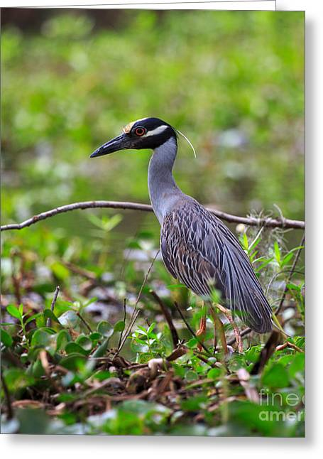 Yellow-crowned Night Heron Greeting Cards - Yellow-crowned Night Heron Greeting Card by Louise Heusinkveld