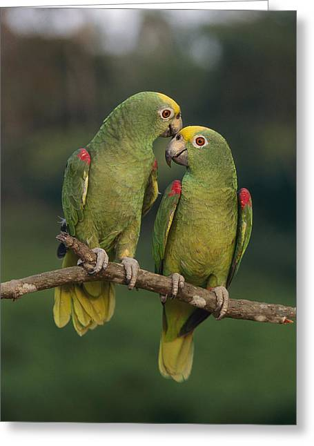 Amazona Ochrocephala Greeting Cards - Yellow-crowned Parrot Kiss Greeting Card by Thomas Marent