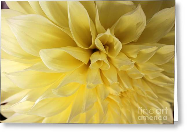 Dinner-plate Dahlia Greeting Cards - Yellow Dahlia Greeting Card by Terri Thompson