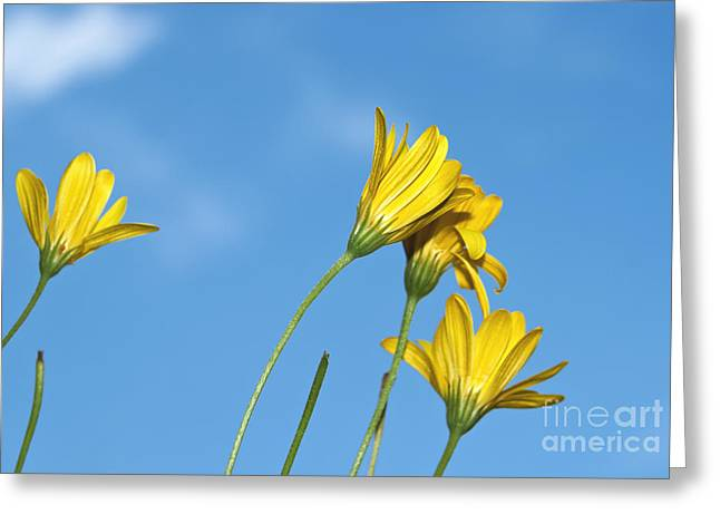 Daisy Bud Greeting Cards - Yellow daisy flowers Greeting Card by Blink Images