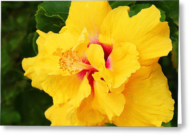 Hibiscus Greeting Cards - Yellow Double Hibiscus Greeting Card by Kerri Ligatich