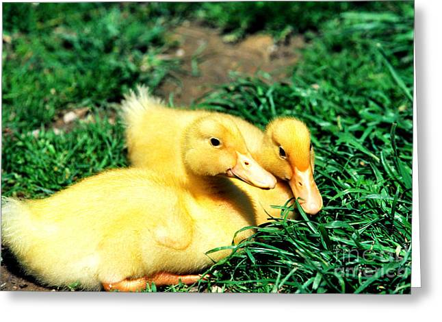 Ducklings Greeting Cards - Yellow Ducklings in Green Grass Greeting Card by Thomas R Fletcher