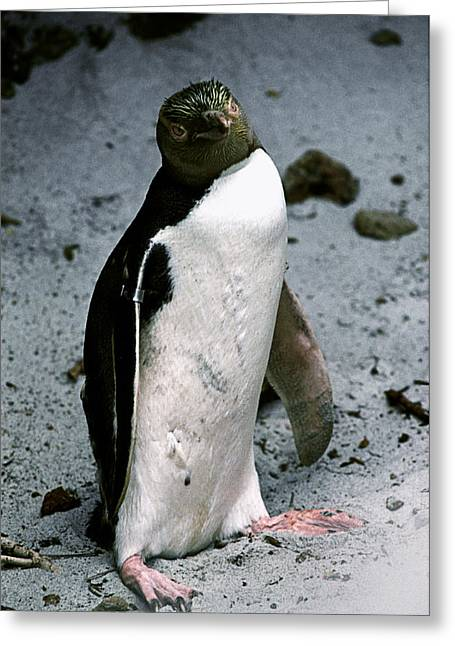 """""""yellow Eyes"""" Greeting Cards - Yellow-eyed Penguin Greeting Card by Peter Scoones"""